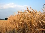 تولید سالانه 18 هزار تن بذر اصلاح شده گندم و جو