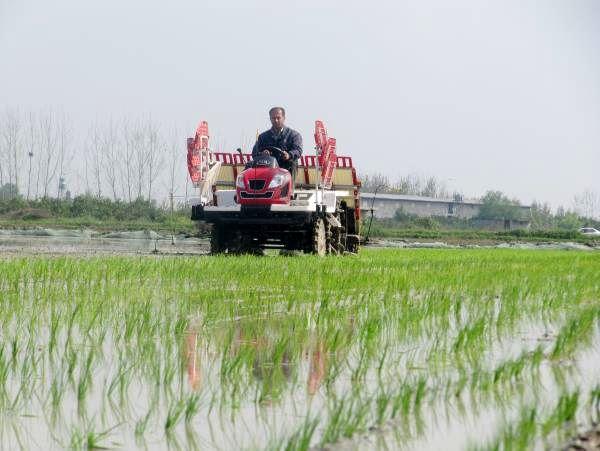 تولید برنج امسال افزایش مییابد