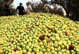 آغاز خرید سیب صنعتی غرب کشور از فردا