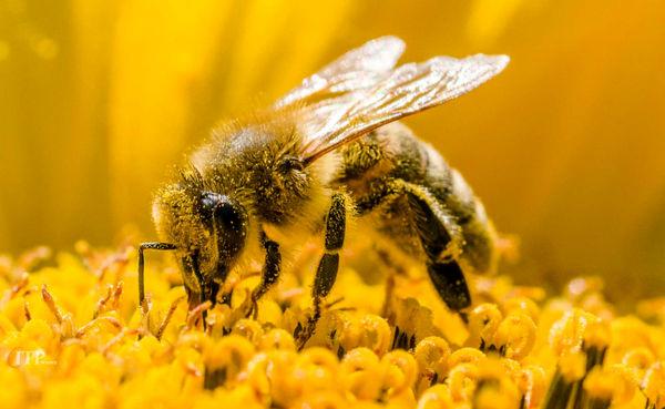 لزوم راه اندازی زنجیره عسل در آذربایجان غربی