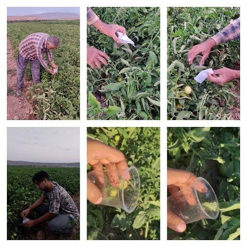 رهاسازی زنبور براکون در مزارع گوجه فرنگی ارسنجان