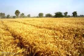 در پائیز بیش از 13 هزار هکتار  گندم آبی و دیم به زیر کشت می رود