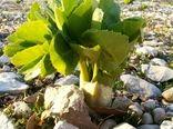 ممنوعیت بوته کنی گیاهان مرتعی