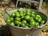ماژین بزرگترین کانون تولید لیمو ترش در ایلام