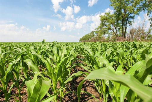 تولید 440 هزار تن ذرت در مزارع کشاورزی شهرستان آبیک