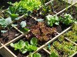 اجرای طرح ایجاد باغچههای خانگی کاشت سبزیجات سالم در شهرستان آبیک