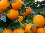 آغاز برداشت پرتقال وانسیا - هرمزگان