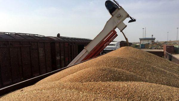 تولید گندم در استان یزد ۱۰ درصد کاهش یافت
