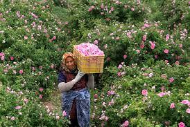 147تن گل تر از گلستانهای شهرستان کرمان برداشت می شود.