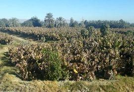 سرما بیش از ۶٠٠ میلیارد ریال به بخش کشاورزی سیستان و بلوچستان خسارت زد