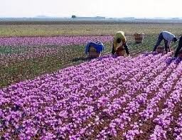 افزایش کشت گل محمدی در خراسان شمالی