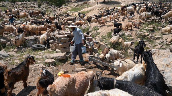 عشایر اصفهان سالانه ۱۱ هزار تُن گوشت قرمز تولید میکنند