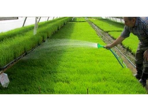 فعالیت 22 بانک نشا برنج در ساری