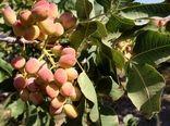 عزم جزم جهاد کشاورزی دامغان برای افزایش 100 درصدی تولید پسته تا چهار سال آینده؛