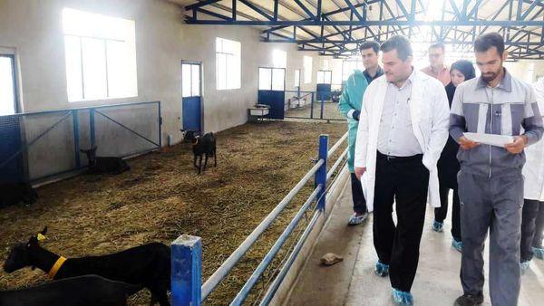 اصلاح نژاد دام های کوچک برای افزایش تولید گوشت و شیر در کشور