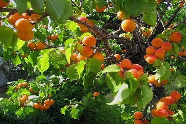 پیش بینی افزایش 62 درصدی برداشت زردآلو در آذربایجان غربی