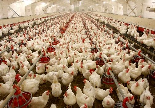 صنعت مرغداری در کردستان سالانه بیش از ۹۵ هزار تن گوشت سفید تولید میکند