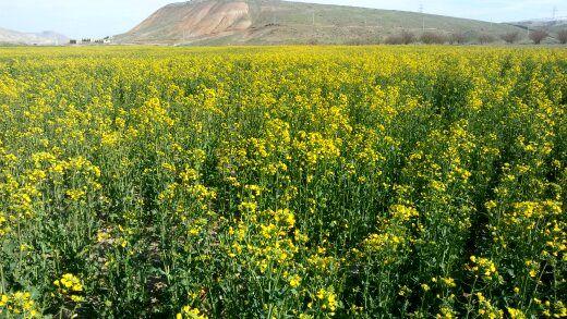 ۸۲ هزار تن کلزا از اراضی کشاورزی شهرستان ماهنشان برداشت شد
