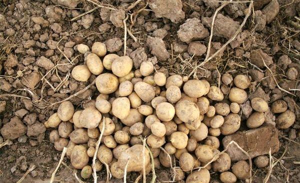 هدفگذاری تولید سالانه ۴ هزار تن غده بذری سیب زمینی