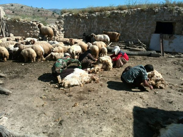 پشمچینی از دامهای شهرستان سیروان آغاز شد