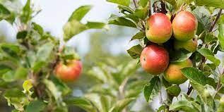 ۲ هزار هکتار از باغهای سمیرم به سیب گلاب اختصاص دارد