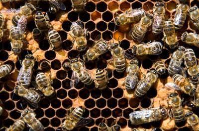 مطالعه علت کاهش کلنیهای زنبورعسل/ تمرکز روی توسعه صنعت عسل در مالزی