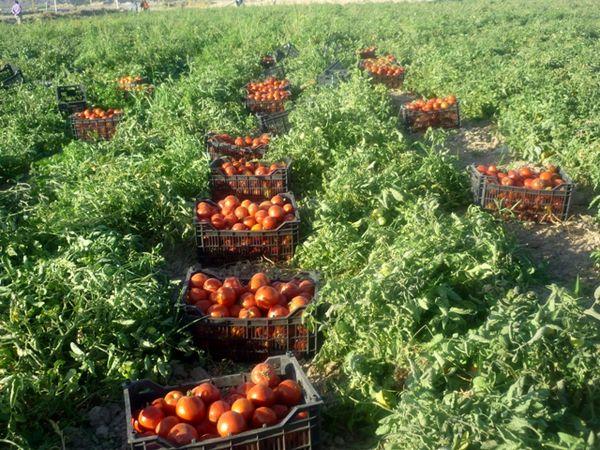آغاز کشت نشاء گوجه فرنگی در  شهرستان بستک