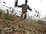 900هزار هکتار از اراضی و باغات کشور در معرض حملات ملخ صحرایی