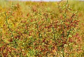 بیش از 20 هزار هکتار از اراضی کشاورزی خراسان جنوبی زیرکشت گیاهان دارویی است