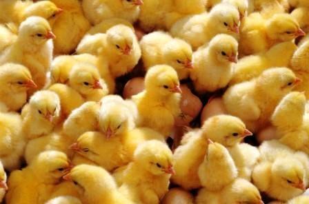 10 عامل تأثیرگذار بر قیمت جوجه یکروزه گوشتی