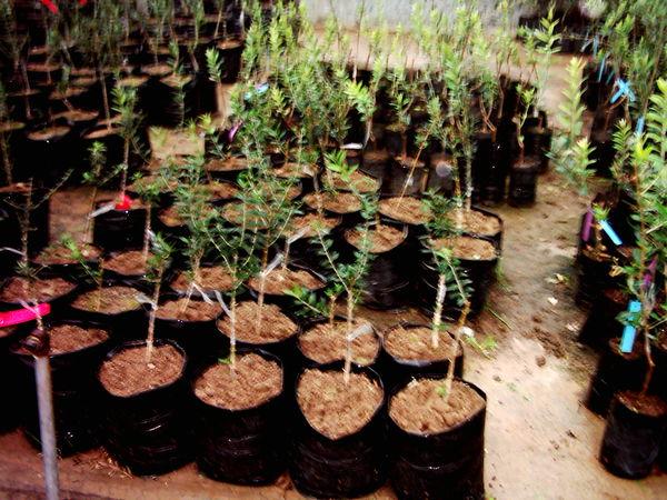 ۴۱۵هزار اصله نهال در نهالستانهای شهرستان البرز تولید شد