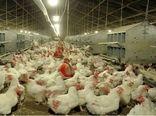تأمین یارانهای ۷۲ درصد نهادههای مرغداران خراسان شمالی