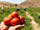 کاهش سطح زیرکشت گوجه فرنگی در خراسان شمالی طی امسال
