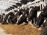 خوراک دام رایگان در مناطق دچار تنش آبی خوزستان توزیع میشود