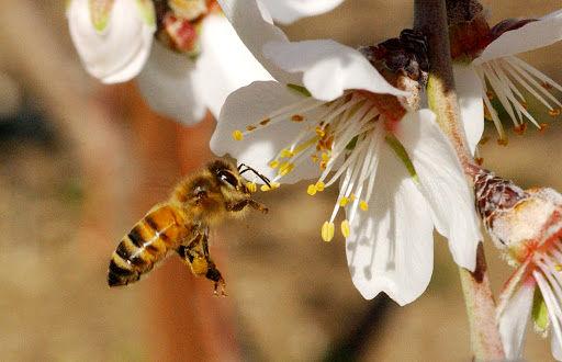 نقش اساسی زنبور عسل در پایداری محصولات کشاورزی