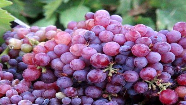 پیش بینی برداشت بیش از ۱۲۶ هزار تن انگور در کردستان