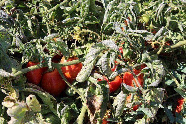 پیشبینی برداشت ۵۳ هزار تن گوجه فرنگی در مزارع اصفهان