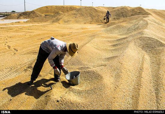 خرید تضمینی گندم در خراسان شمالی تا پایان مهر تمدید شد
