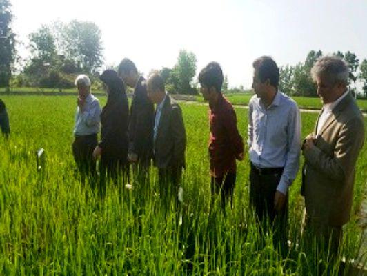 تولید محصول اقتصادی با ایجاد مجتمع های تولید بذر برنج و بانک نشاء گیلان