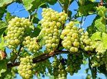 اجرای طرح فراز در باغات انگور ملایر و رزن
