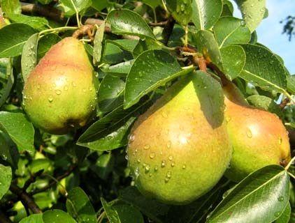 تولید گلابی در استان سمنان به 3937 تن رسید