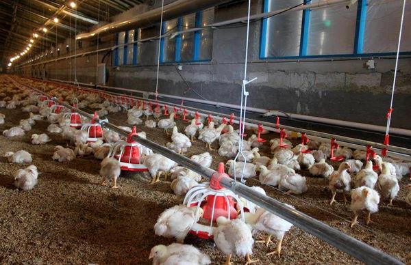 تولید 2000 تن مرغ بدون آنتیبیوتیک در اصفهان