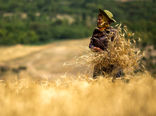 گلستان رتبه دوم تولید گندم کشور را کسب کرد