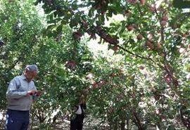 باغدار نمونه از هر هکتار 15 تن محصول به برداشت کرد