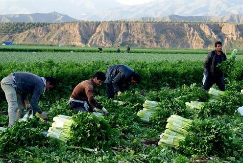 برداشت محصول کرفس از 180 هکتار مزارع شهرستان طارم آغاز شد