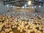 تولید 375 هزار قطعه مرغ در کازرون
