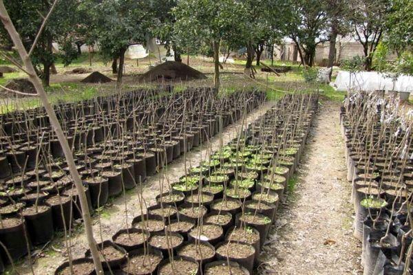 اعتبارات تولید نهال در نهالستانهای منابع طبیعی قزوین قطرهچکانی  است