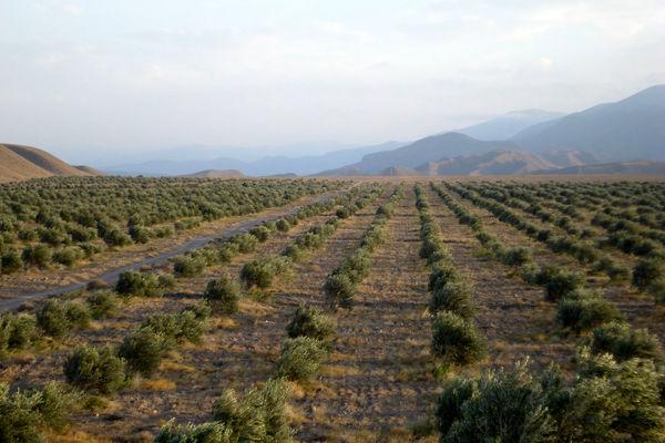اجرای طرح توسعه و جایگزینی باغ در 1000 هکتار از اراضی استان قزوین