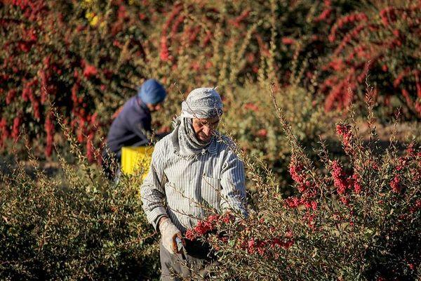 تکمیل زنجیره تولید و صادرات زرشک، راهی برای کمک به اقتصاد کشاورزان