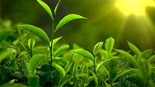 تهیه نقشه پهنه بندی حاصلخیزی خاک باغات چای استانهای گیلان و مازندران